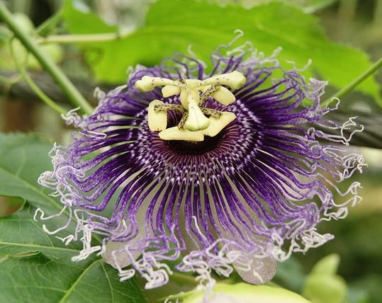 passiflora-incarnata-1596321_640