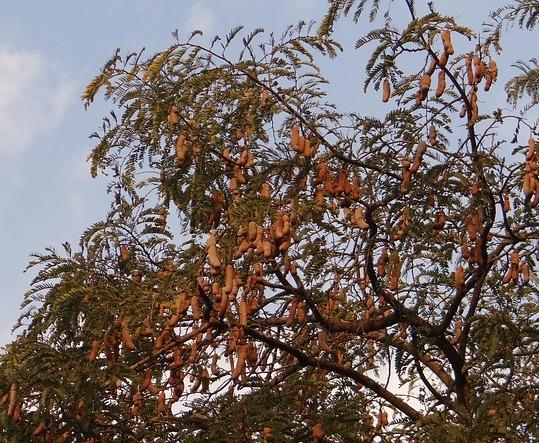 tamarind-tree-324023_640